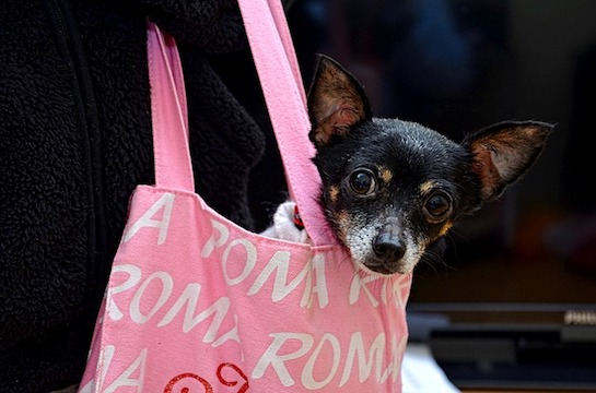 Hundchen-in-der-Tasche